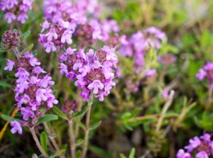 thyme-for-acne-300x223