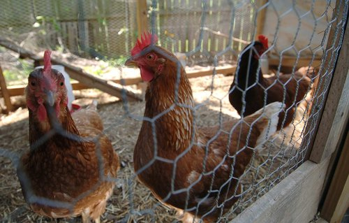 A guide to raising healthy, happy chickens without antibiotics